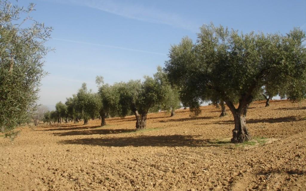 Las salidas de aceite de oliva al mercado se recuperan, con alrededor de 124.000 t en mayo pasado