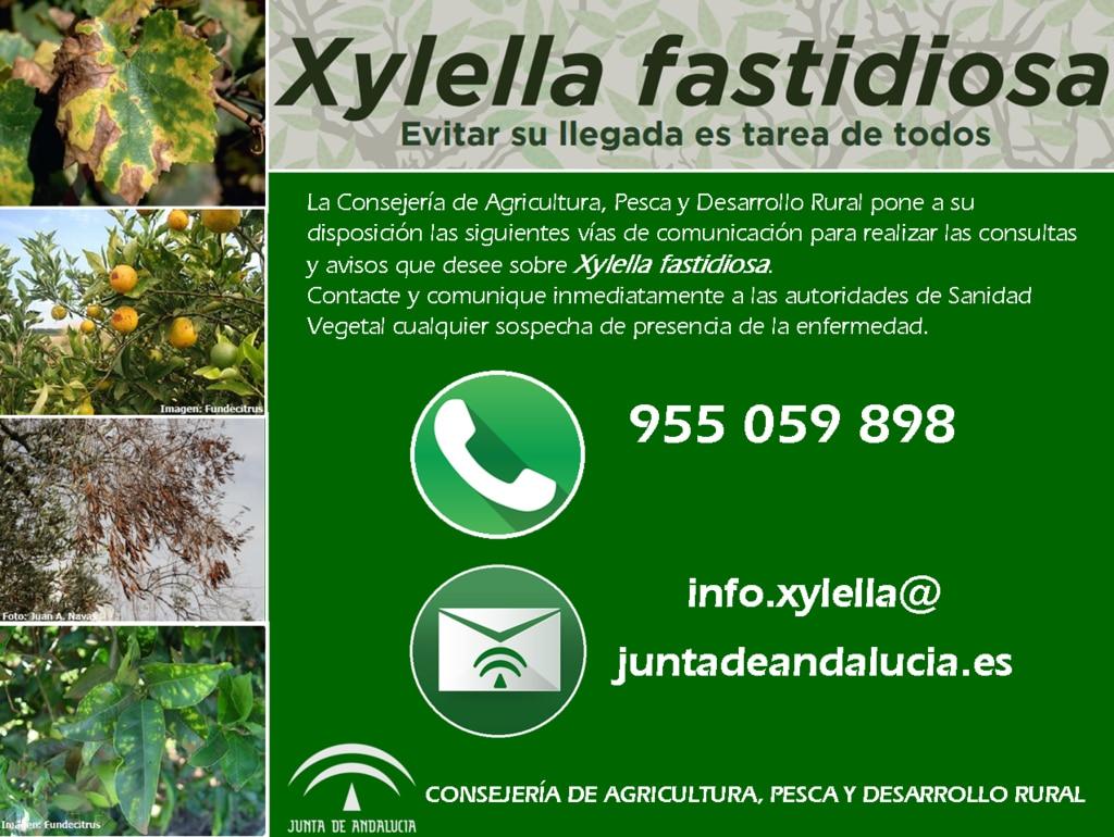 Andalucía refuerza la prevención para atajar la hipotética presencia de la Xylella en el  olivar
