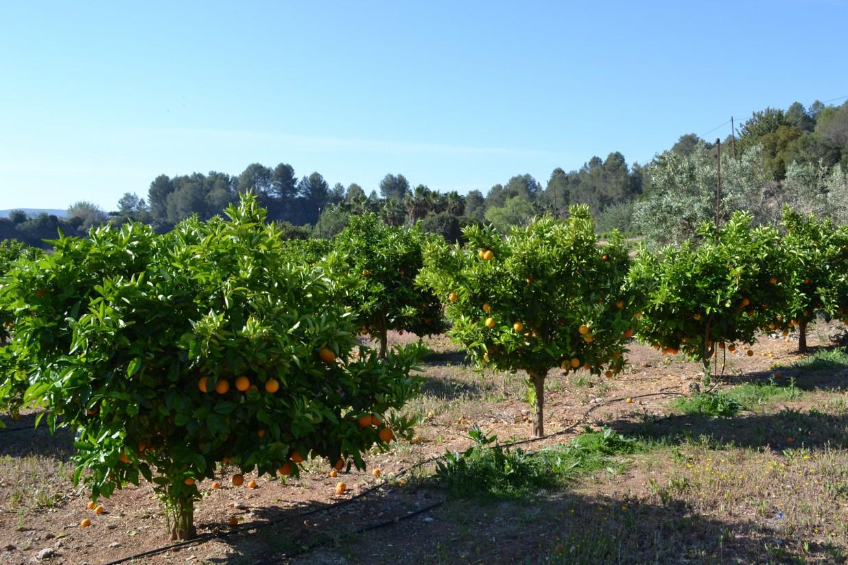 AVA-ASAJA calcula una disminución del 27% en la futura cosecha valenciana de cítricos