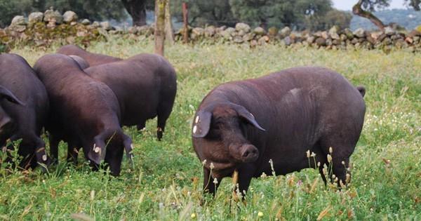 Solo el 15% de los cerdos ibéricos de bellota producidos España son amparados por una DOP
