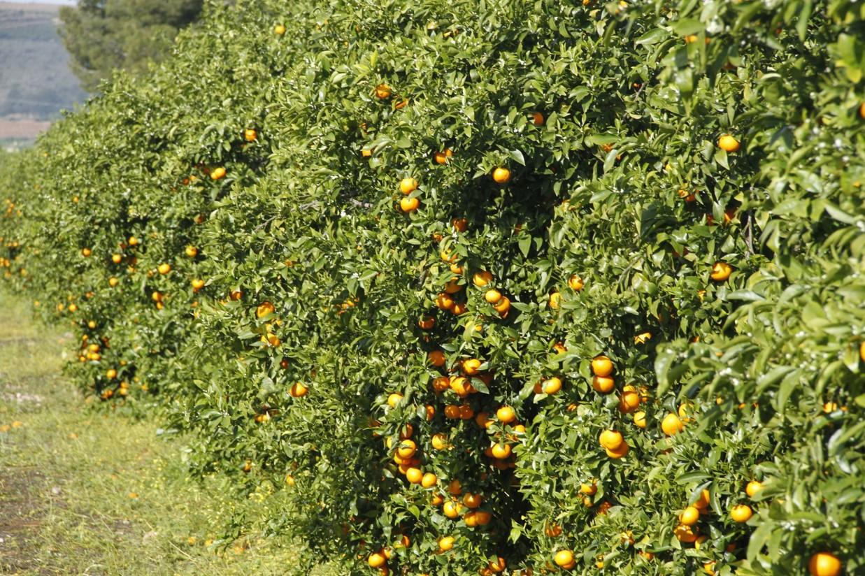 Comercializadas cerca de 26.000 toneladas de mandarina Orri
