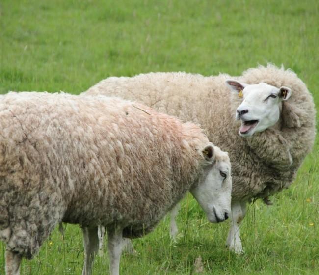 Castilla y León pierde el 27% de sus ganaderos de ovino de leche en los últimos siete años