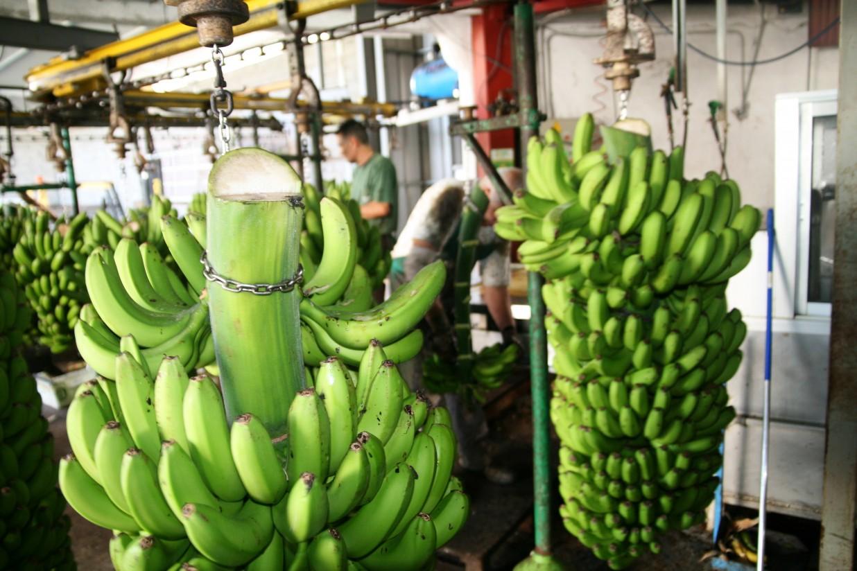 Asprocan denuncia que las importaciones de banana superan los límites de la UE