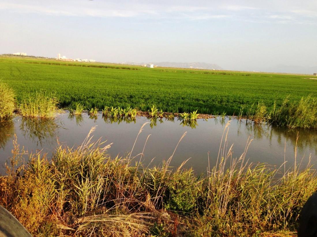 AVA-ASAJA denuncia que está en peligro el 20% de los arrozales valencianos