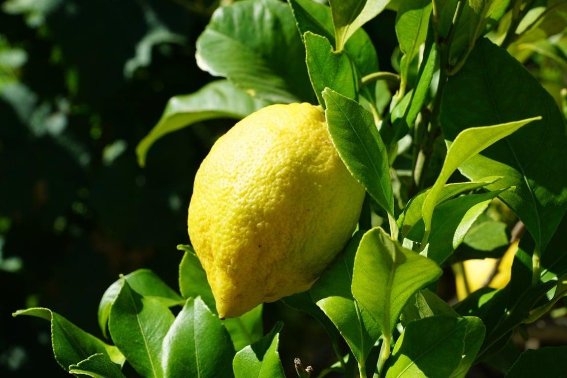 España consolida su posición líder como proveedor de limón a la Unión Europea