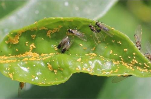 La psila africana de los cítricos Trioza erytreae amenaza a la citricultura española