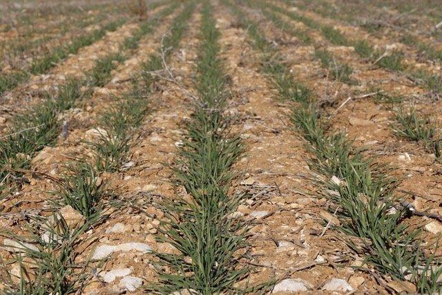 Agromaster Start, la solución de ICL Specialty Fertilizers para la fertilización localizada en los cereales de invierno