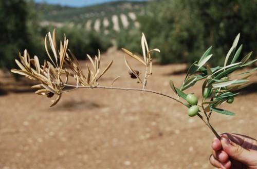 Diagnóstico y etiología de la seca de ramas de olivo (I)