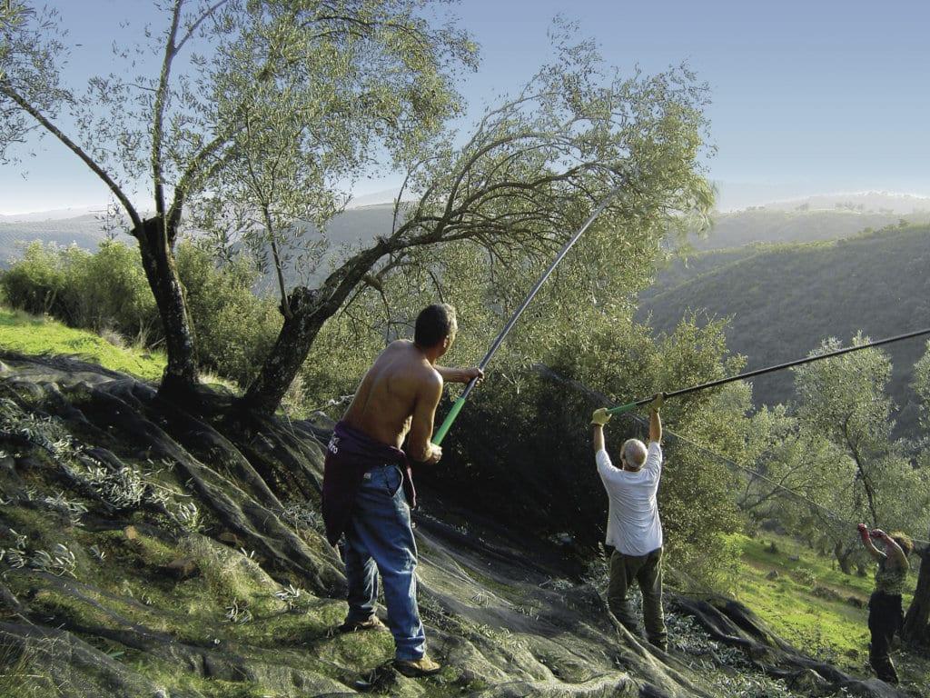 Las menores cosechas de aceituna y uva elevaron el paro agrícola en octubre