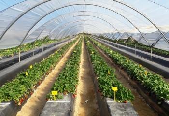 Estudio de la calidad funcional en doce variedades de fresa