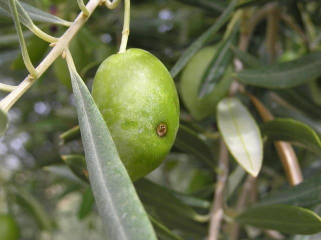 Citoliva presenta un sistema pionero para el recuento e identificación bioacústica remota de la mosca del olivo
