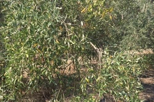 Diagnóstico y etiología de la seca de ramas de olivo (II)