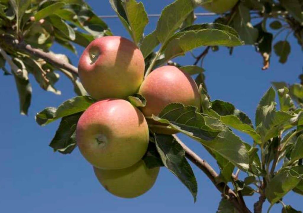 Cooperativas Agro-alimentarias prevé un incremento del 28% en la cosecha española de manzana