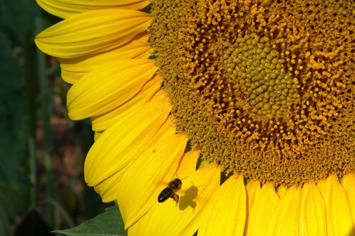 La CE lanza una consulta pública sobre acciones para frenar el declive de las abejas y otros polinizadores