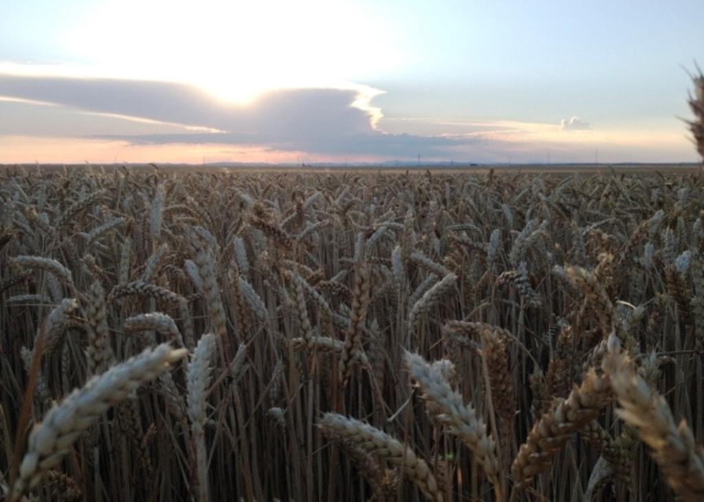 Nuevos récords previstos en cosecha y stocks mundiales de trigo en la campaña 2017/18