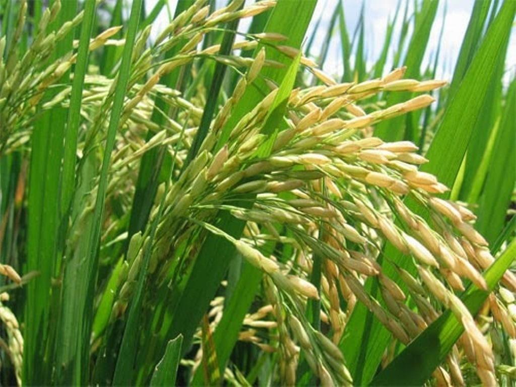 El Mapama prevé unas 830.360 t de arroz cáscara en la campaña 2017/18