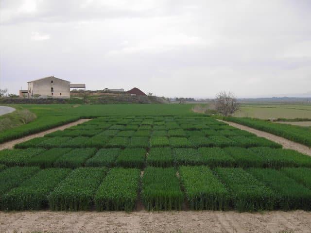Evaluación de nuevas variedades de trigo duro, triticale, avena y centeno híbrido