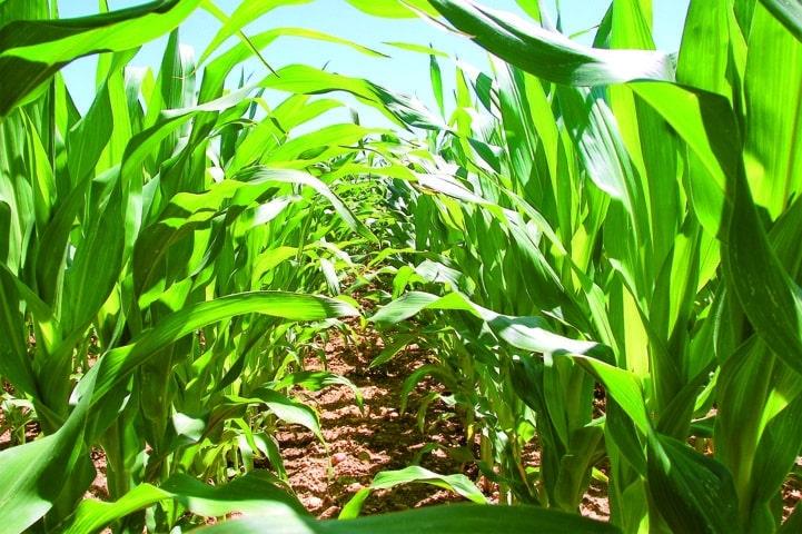 Más de 600 agricultores se darán cita en Lisboa en el I Congreso Ibérico del Maíz
