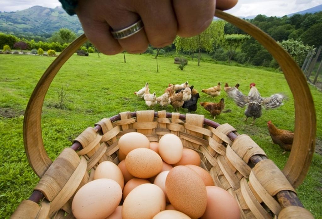 Gallinas con los huevos bien puestos