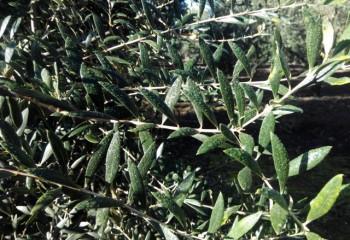 Estrategia para una correcta fertilización del olivar