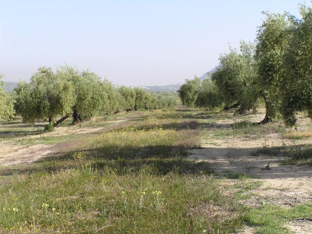 Situación fitosanitaria del olivar andaluz en el año 2017