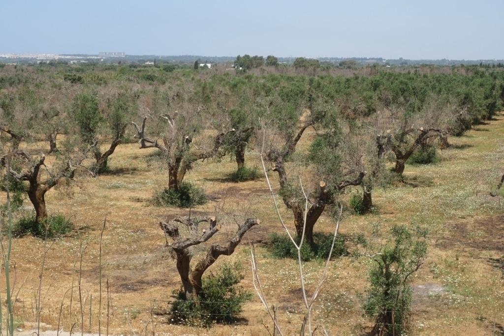 Confirmado oficialmente un caso de Xylella fastidiosa en un olivo de una finca madrileña