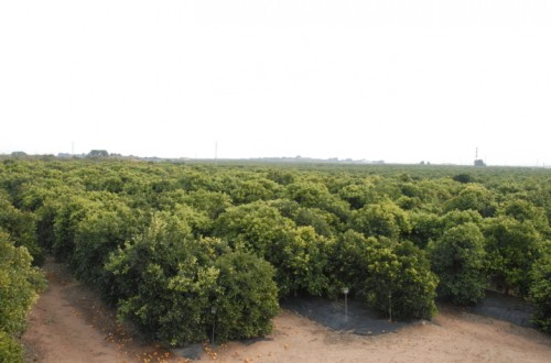 Nuevas variedades triploides de mandarino del IVIA