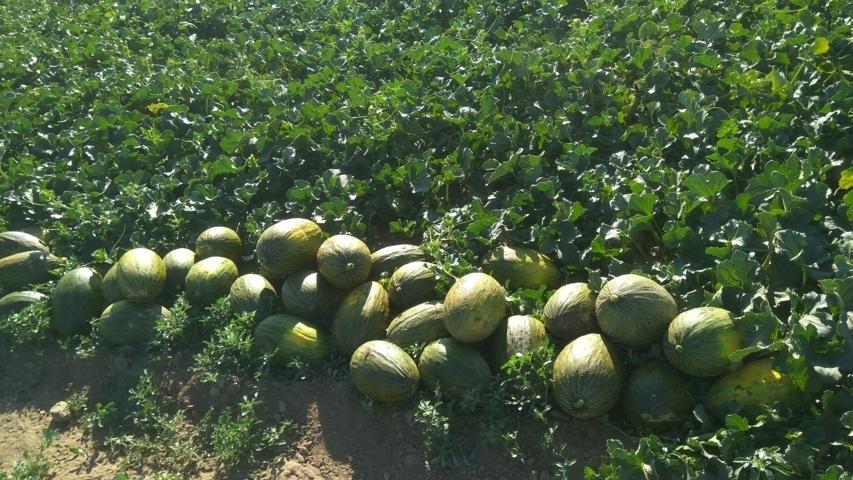 Un estudio del Imidra demuestra la eficacia de AgriAlgae en el cultivo del melón