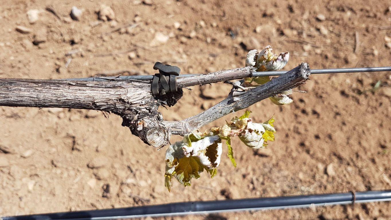 Partes de siniestro en 19.000 hectáreas de frutales y viñedo por pedrisco y heladas