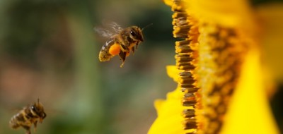 Agricultura y apicultura: una simbiosis necesaria