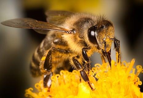 abejas