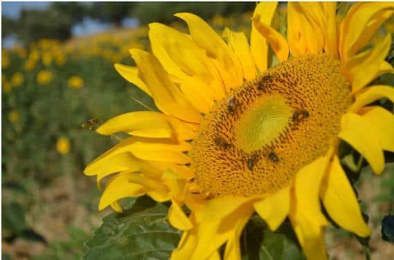 Las abejas en el escenario del cambio climático