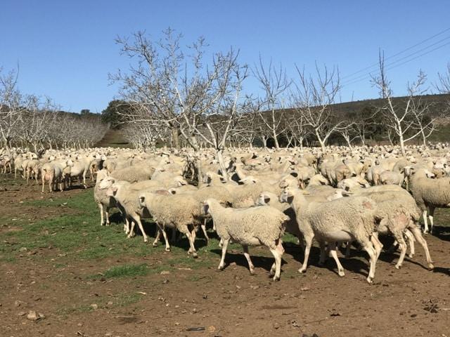 Aenor se convierte en entidad autorizada para la certificación Animal Welfare Interovic Spain (AWIS)
