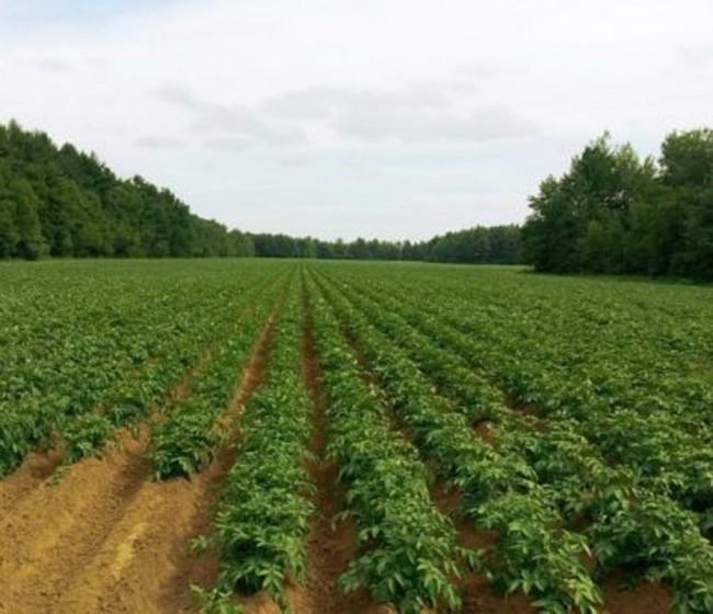Desciende un 6% la superficie de cultivo de patata en Castilla y León