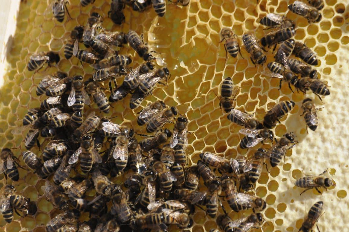 """COAG denuncia la """"caótica gestión ministerial"""" de los fondos para investigación en apicultura"""