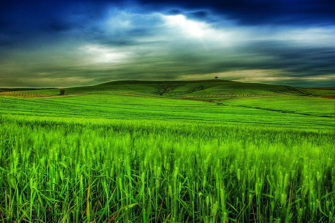 Un estudio de la UWA y Limagrain identifica los genes claves en la obtención de semillas de trigo híbrido