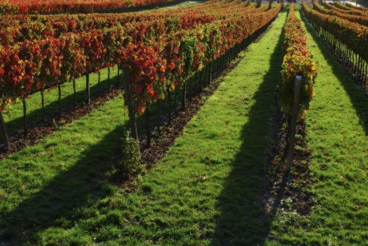 Influencia en el viñedo de la cubierta vegetal espontánea