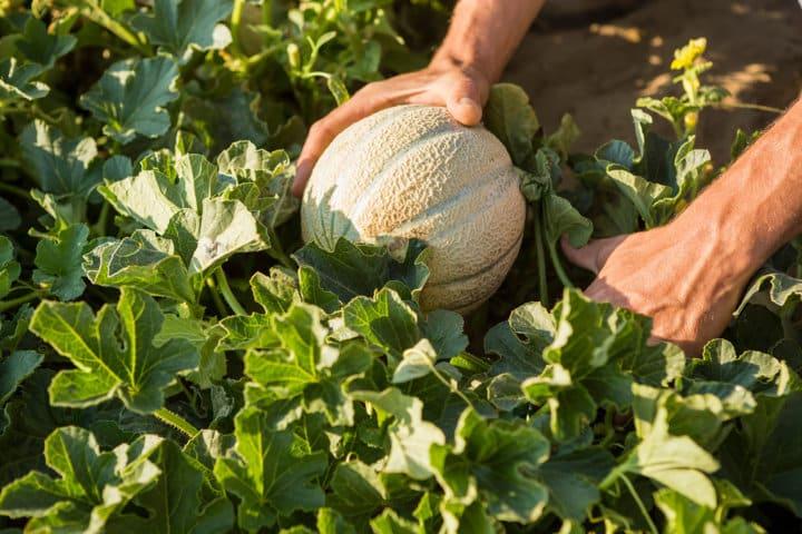 Basf cierra la adquisición del negocio de semillas hortícolas de Bayer