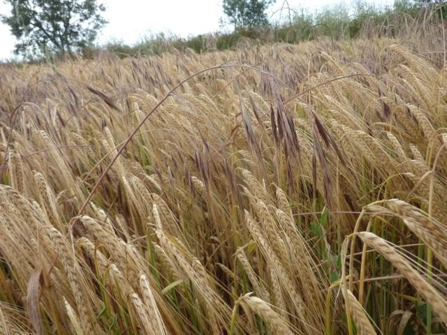 Control de malas hierbas gramíneas en cereal de invierno