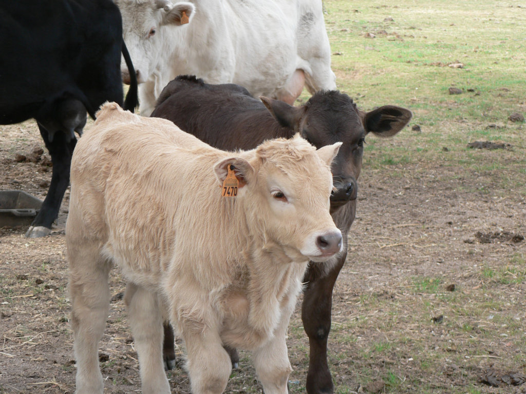 Promanbov, nuevo grupo operativo para la promoción del uso prudente de antimicrobianos en vacuno de carne