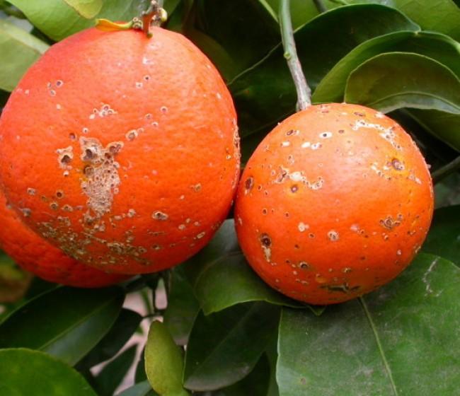 Control de la mancha marrón de las mandarinas causada por Alternaria