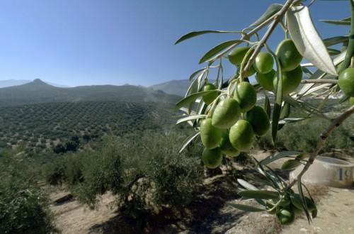 YaraRega y YaraMila Olivo, las opciones de Yara para la nutrición del olivar