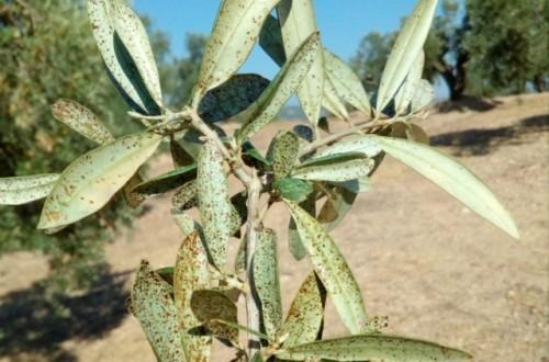 Problemas fitosanitarios emergentes en el olivar andaluz