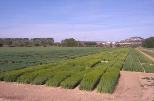 Evaluación de nuevas variedades de triticale, avena y centeno híbrido