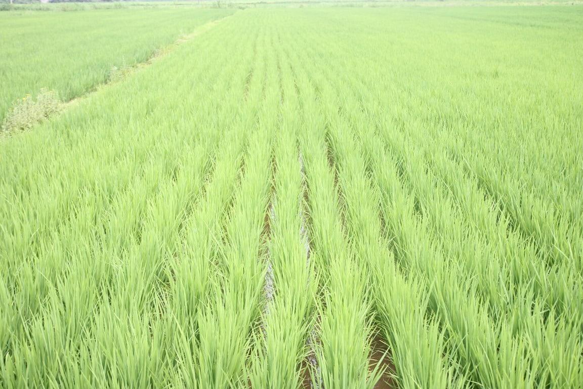 Cooperativas prevé una cosecha nacional de 825.741 t de arroz, pese a volver a caer las siembras