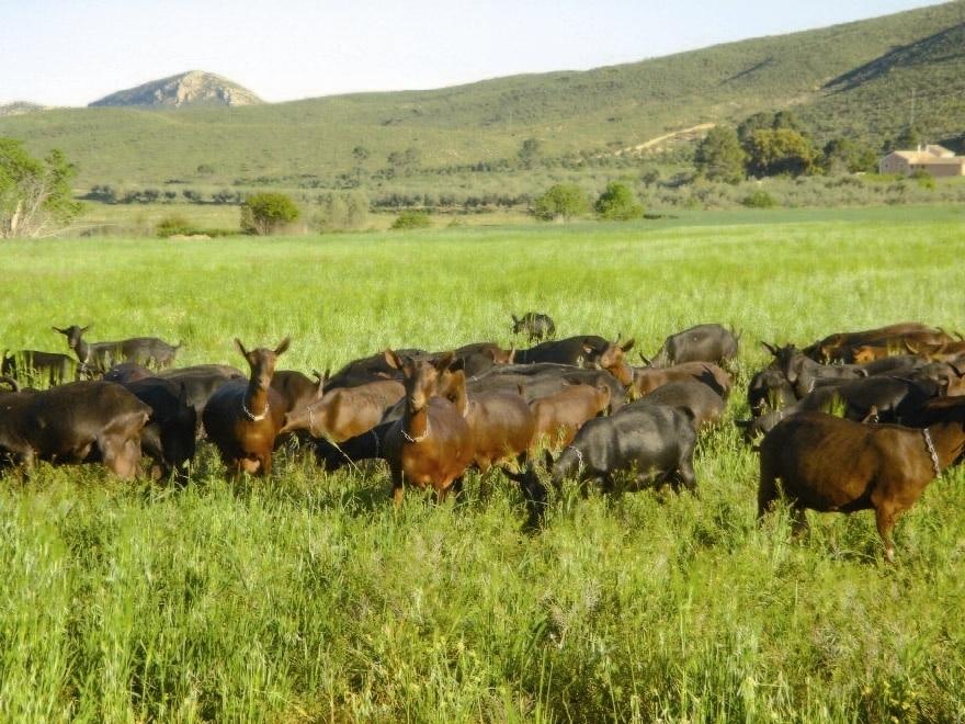 El precio medio nacional de las leches de oveja y cabra mejoró en septiembre, pero fue inferior a un año antes