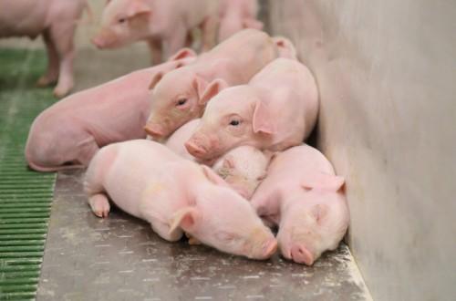 Modelo ICPOR: granjas inteligentes de porcino