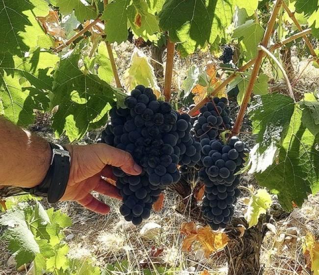 La ola de calor condiciona la vendimia y mermará la producción en Castilla-La Mancha y Extremadura