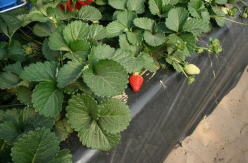 Caracteres agronómicos de distintas variedades de fresa