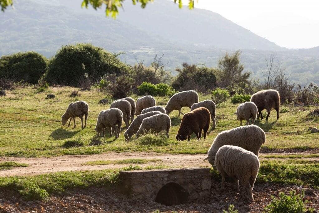 Anafric se suma al uso prudente de los antibióticos en el sector ovino y caprino